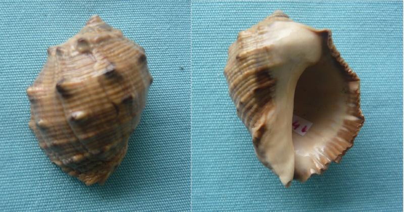 Purpura bufo - Lamarck, 1822 P1000016