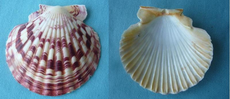 Annachlamys striatula - (Linnaeus, 1758) P1000018