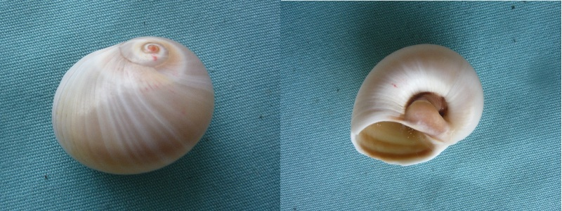 Neverita josephinia - Risso, 1826 P1000031