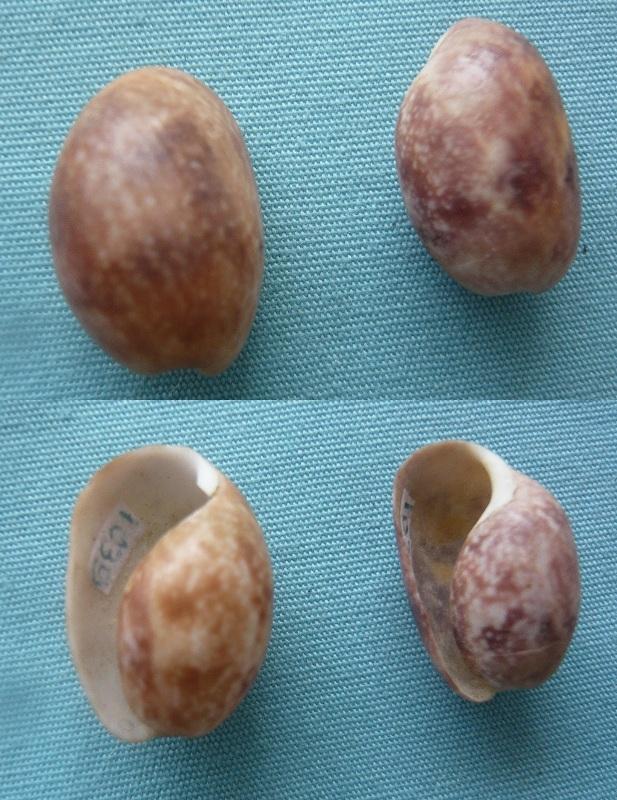 Bulla ampulla Linné 1758 P1000032