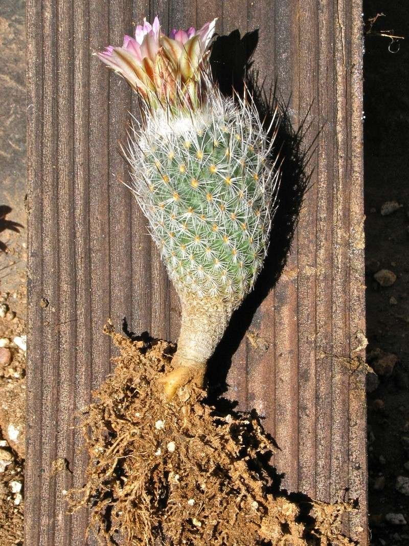 Gymnocactus subterraneus var. zaragosae Img_0110