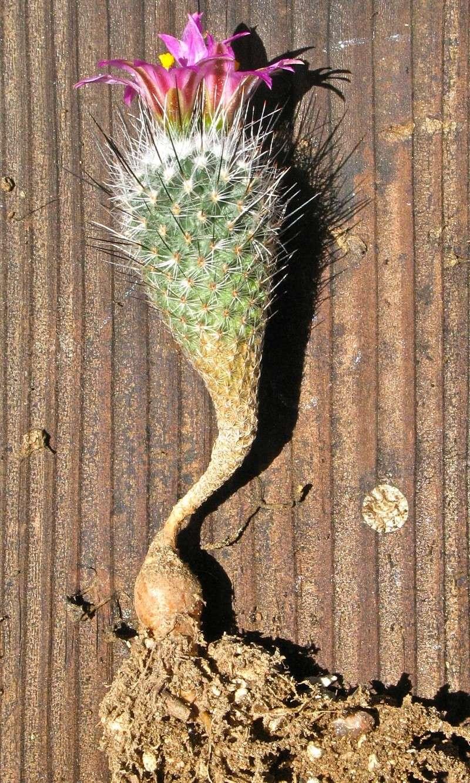 Gymnocactus mandragora ssp. booleanus Img_0111