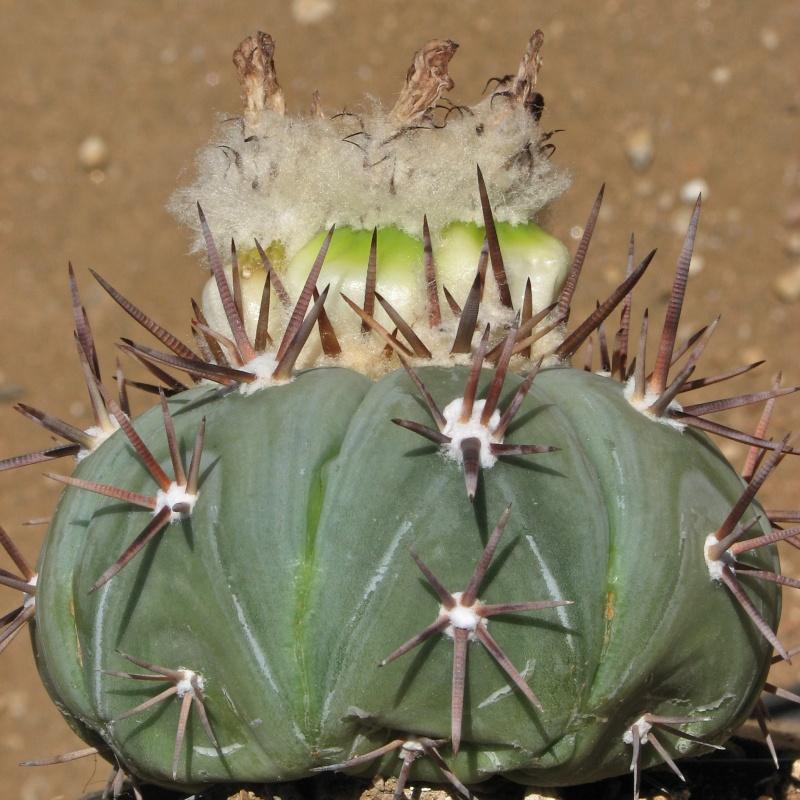 Echinocactus horizonthalonius subikii Img_7310
