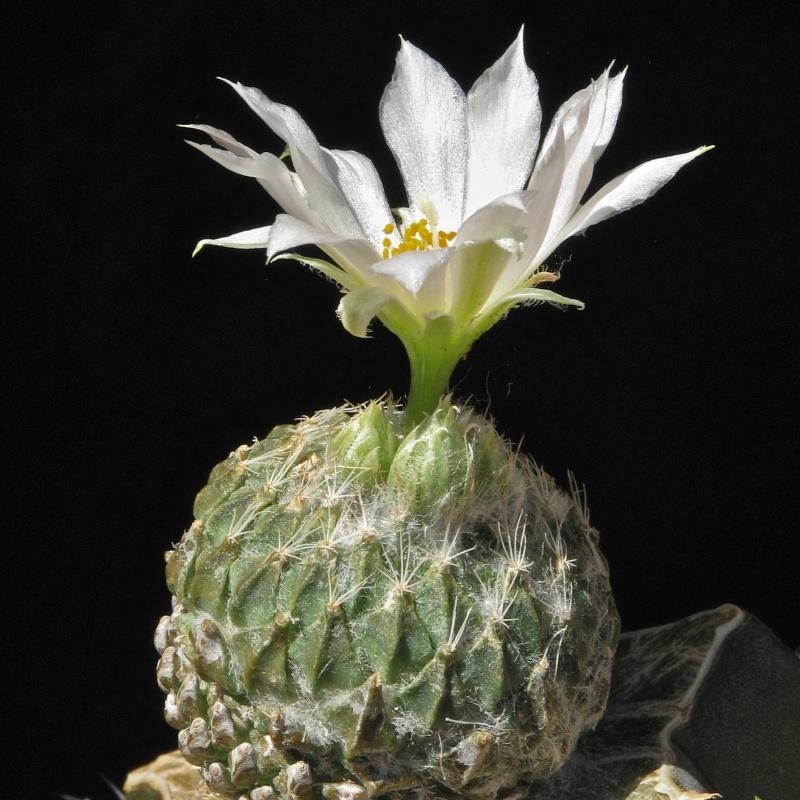Pelecyphora strobiliformis Img_7311