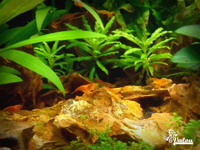 300L d'Amazonie + 30L sakura orange Crevet10