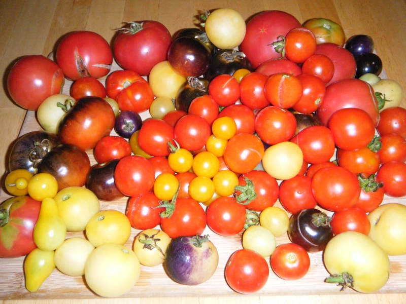 My Tomatoes - The Good News and the Bad News Tomato10