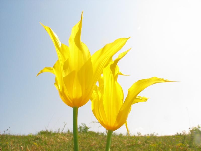 Identification tulipes  Img_1111