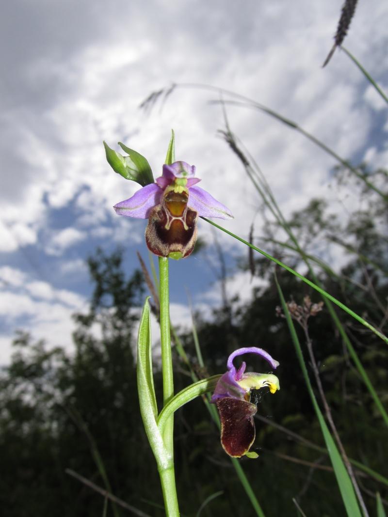 Ophrys apifera X fuciflora (X albertiana) Img_4910