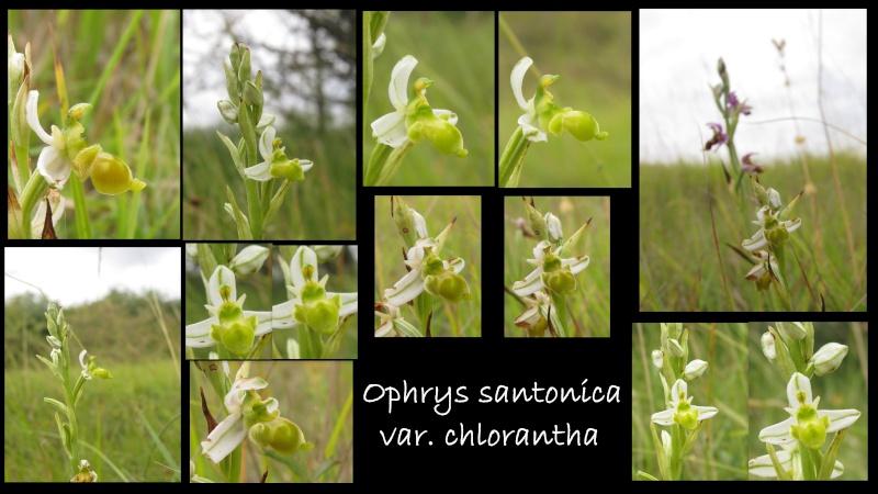Ophrys santonica (Ophrys de Saintonge) Ophrys10