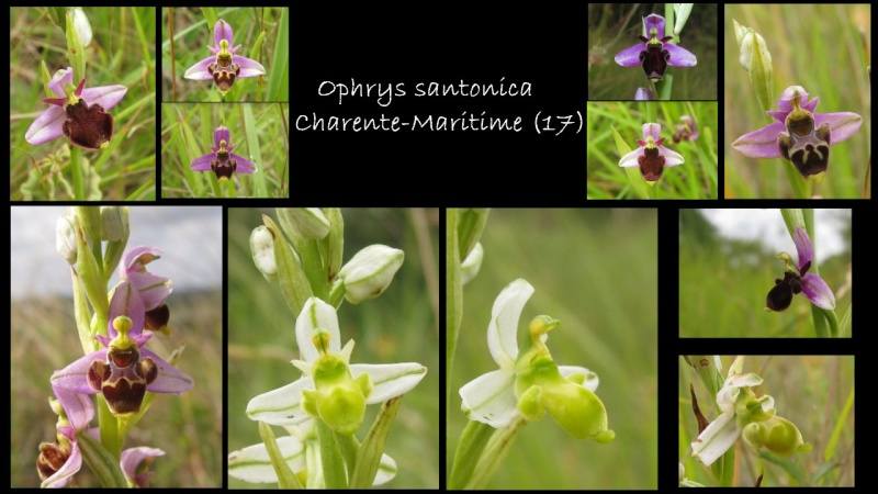Ophrys santonica (Ophrys de Saintonge) Santon10