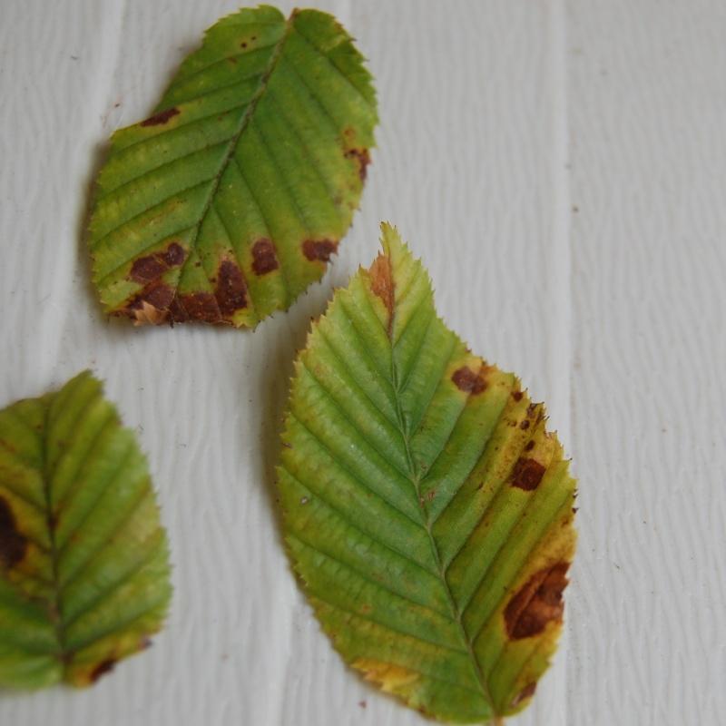 foglie carpino...cosa succede? Carpin12