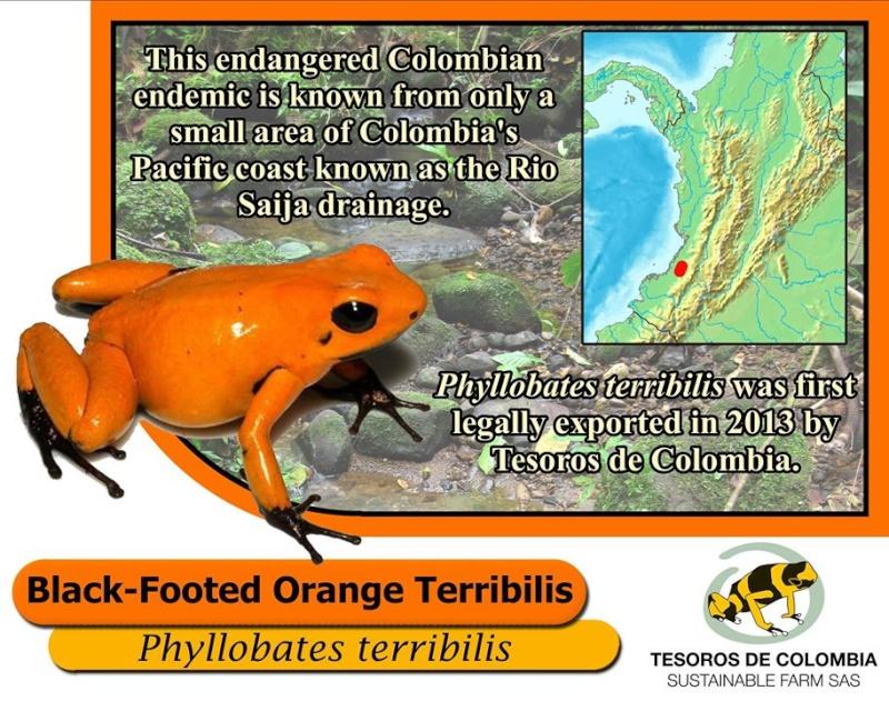 Phyllobate. Terribilis orange blackfoot Histoi12