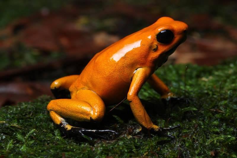 Phyllobate. Terribilis orange blackfoot P_terr12