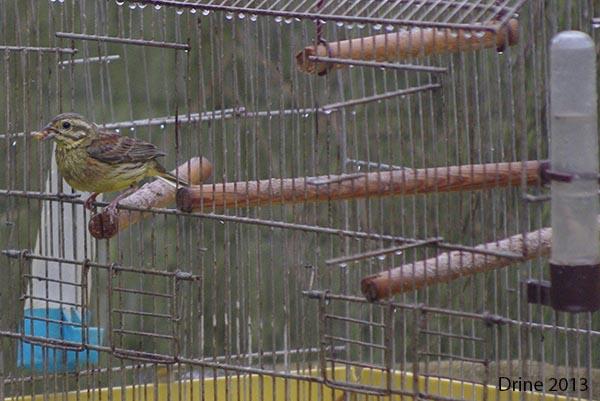 Reconnaitre les oiseaux de nos jardins... - Page 7 110
