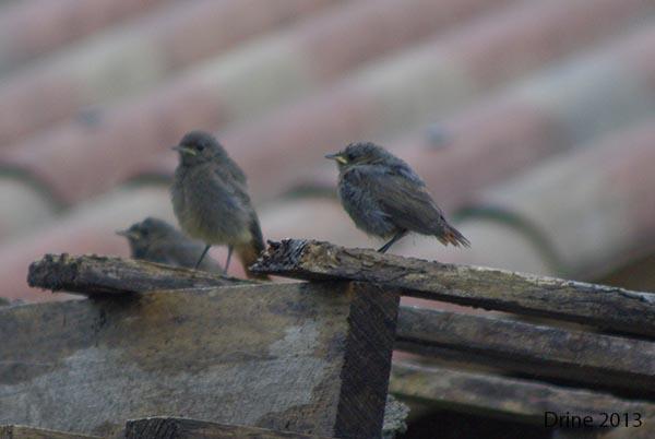 Reconnaitre les oiseaux de nos jardins... - Page 7 310