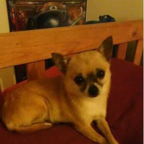 Missing Dog- Cindy (Woodbridge) 00t0t_11