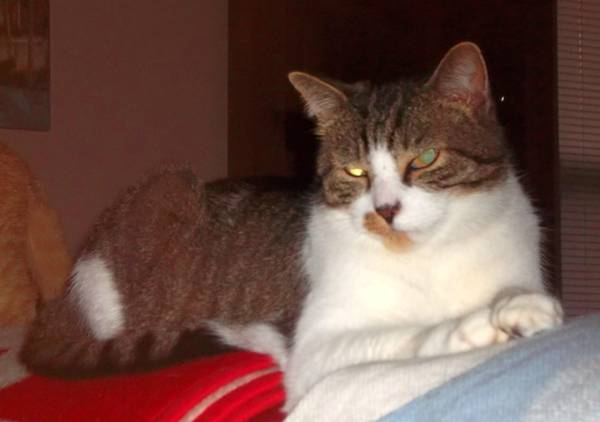 Missing Cat-Captain (Winding River Way, Louisville)  00z0z_10