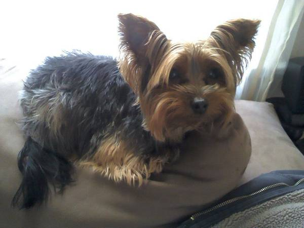 Lost Yorkie - Christian Park Area Indy110