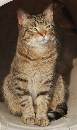 MISSING TIGER STRIPED CAT Indy610