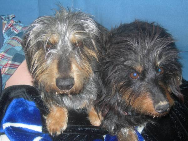 TWO DACHSHUNDS MISSING Indy710