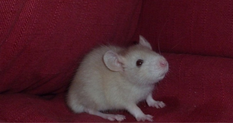 13 petit rats en Bretagne  99821410