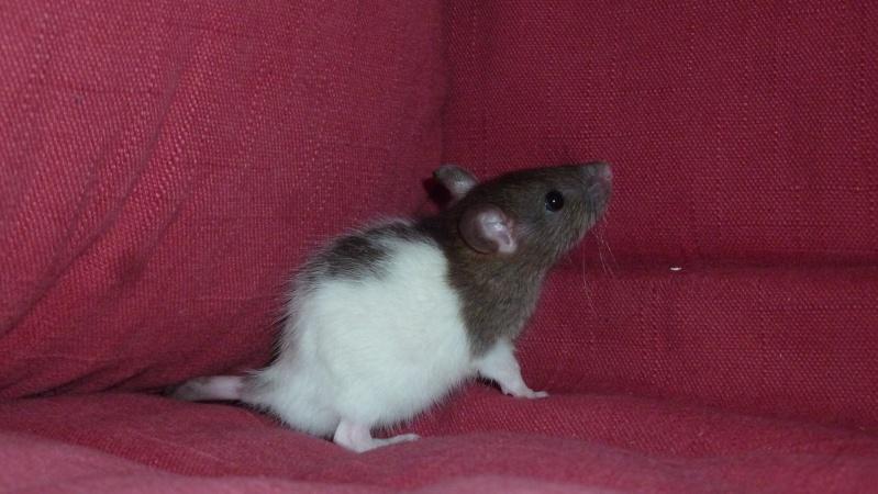 13 petit rats en Bretagne  Bounty10