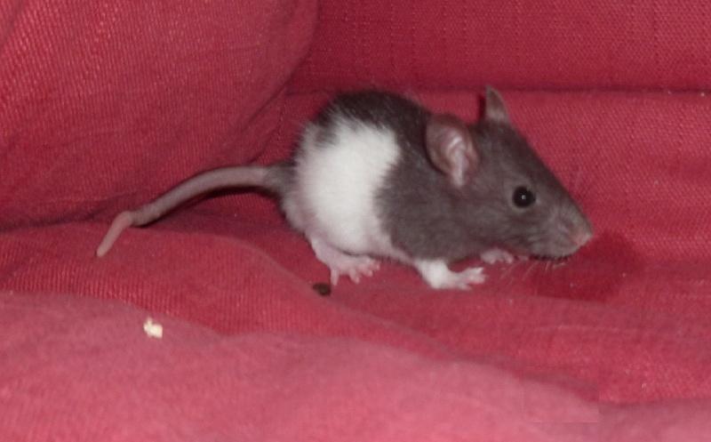 13 petit rats en Bretagne  Bueno10