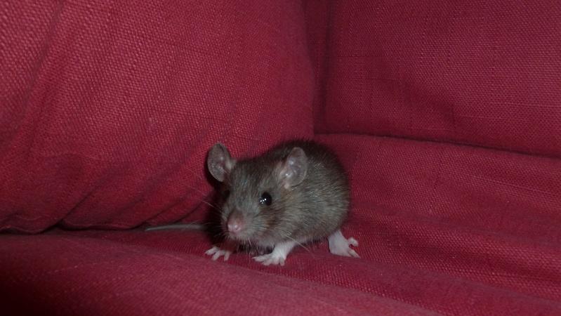 13 petit rats en Bretagne  Caramb10
