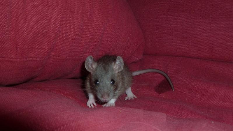 13 petit rats en Bretagne  Carame11