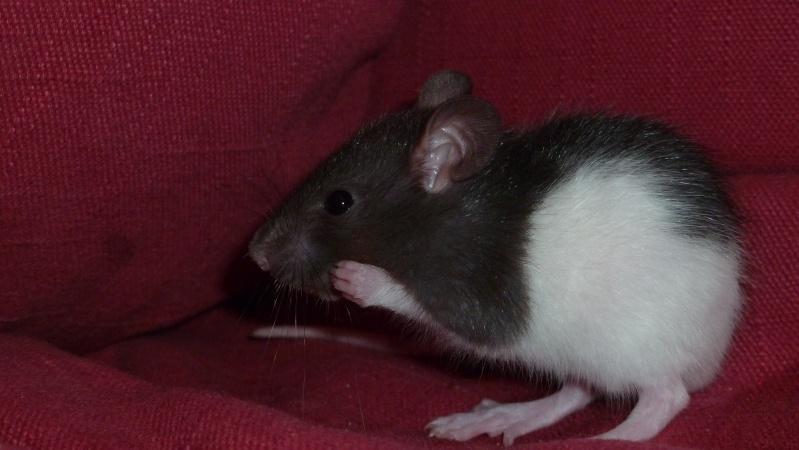 13 petit rats en Bretagne  Countr10