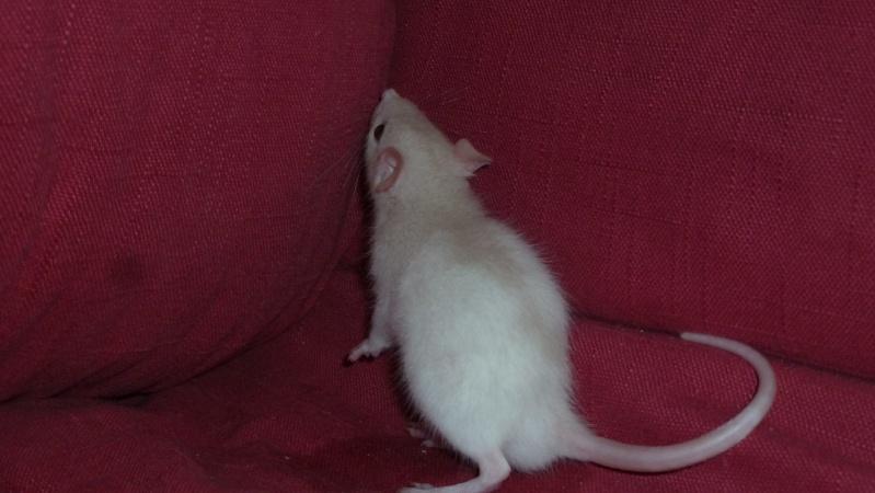 13 petit rats en Bretagne  Guimau10