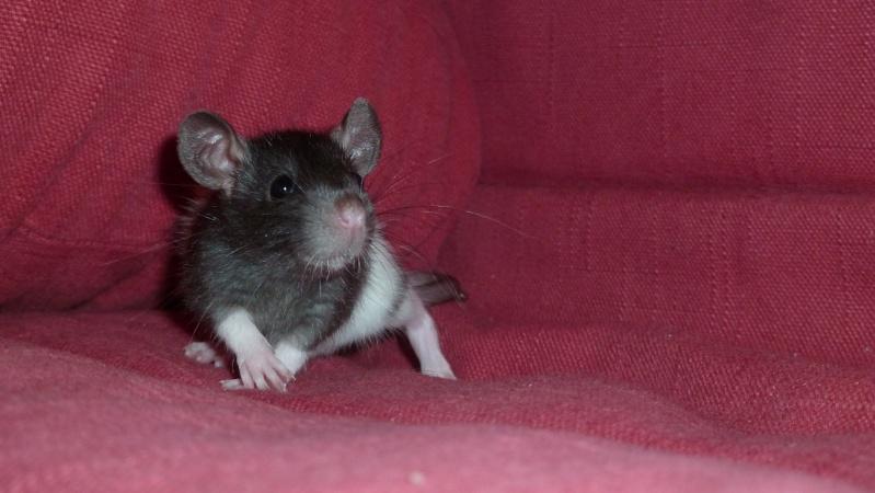 13 petit rats en Bretagne  Lust11