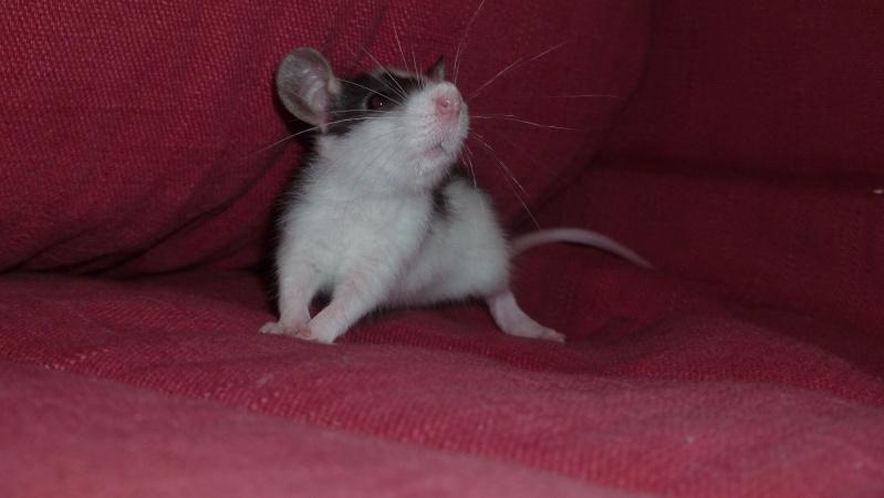 13 petit rats en Bretagne  Luzia10
