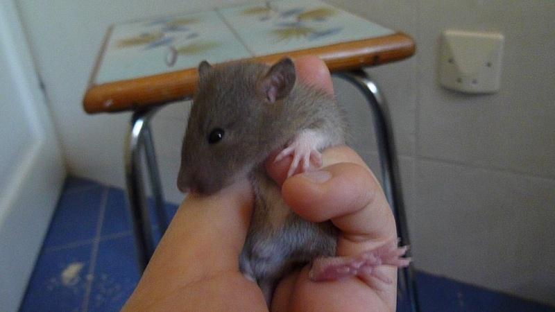 13 petit rats en Bretagne  P1040411