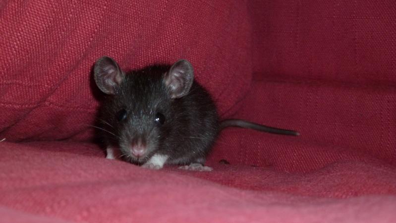 13 petit rats en Bretagne  Reglis10