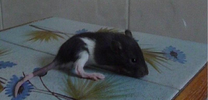 13 petit rats en Bretagne  Sans_t10