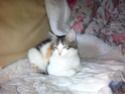 2 petites chattes tricolores Chatte10