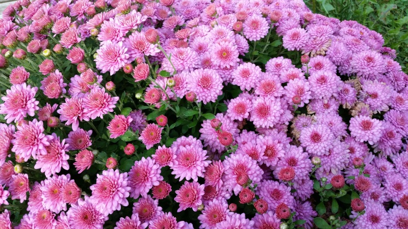 Comment vont nos fleurs ? Chrysa11