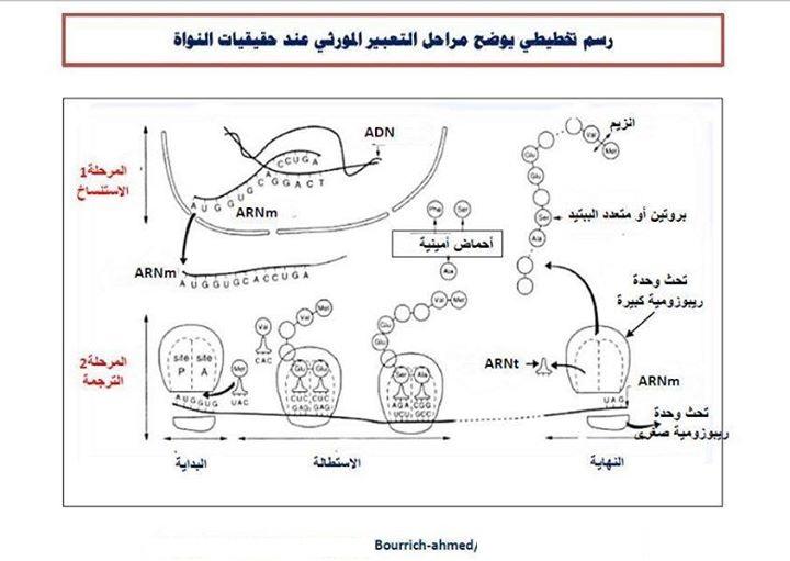 رسم تخطيطي يوضح مراحل التعبير المورثي عند حقيقيات النواة 1111