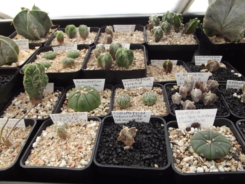 semis d'astrophytums 1an à 3ans X2_01612