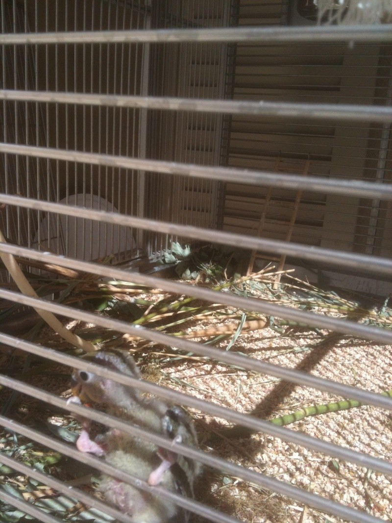 E.T. le petit roséicollis nain Img_0215