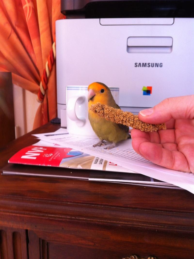 E.T. le petit roséicollis nain Img_1519