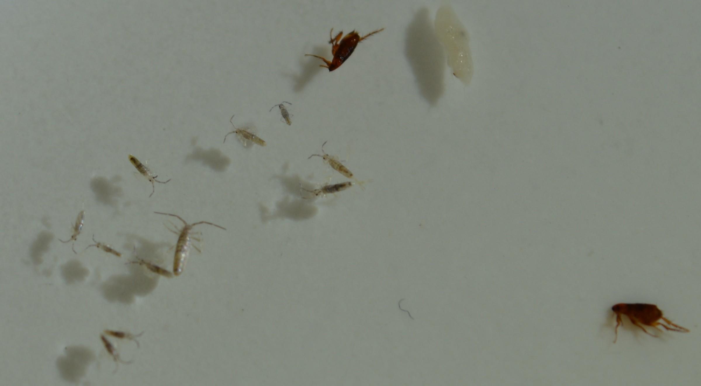 insecte captur avec des puces. Black Bedroom Furniture Sets. Home Design Ideas