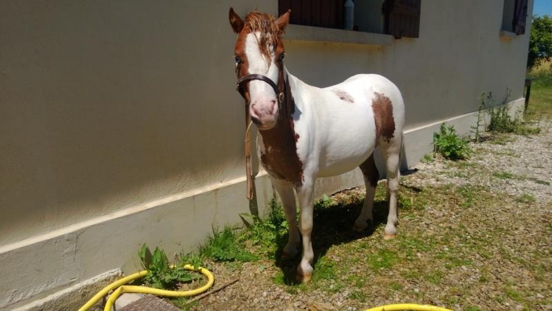 Skipper, cheval miniature américain. Wp_20130