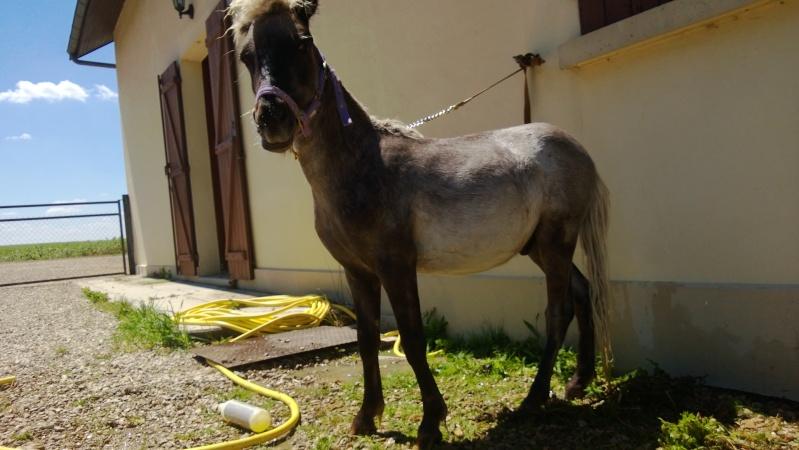 Dusty, cheval miniature américainXanglais - Page 2 Wp_20134