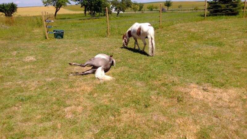 Dusty, cheval miniature américainXanglais - Page 2 Wp_20135