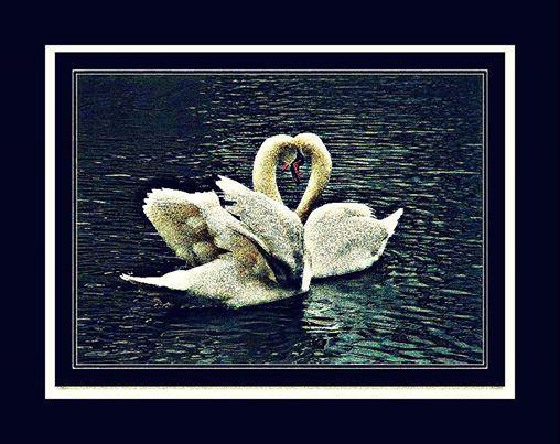 Des oiseaux Cygne10