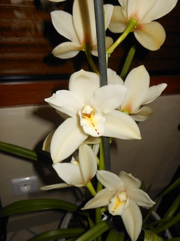 Cymbidium EARLISUE 'PADDY' Cymbid10