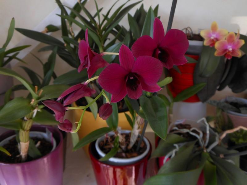 Dendrobium Phalaenopsis Thailand Black Dendro11