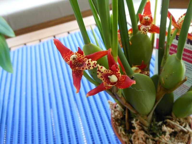 Maxillaria Tenuifolia - Page 2 Maxill10